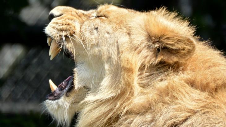 lion-824899_1280
